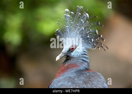 France, Vendee, Les Sables d'Olonne, Zoo des Sables, Columbidae, Western Crowned Pigeon (Goura cristata), Common Crowned Pigeon or Blue Crowned Pigeon - Stock Photo
