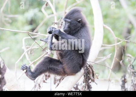 Indonesia, Celebes, Sulawesi, Tangkoko National Park, Celebes crested macaque or crested black macaque, Sulawesi crested macaque, or the black ape (Macaca nigra) - Stock Photo