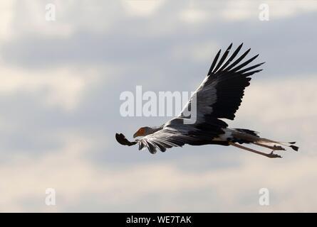 South Africa, Private reserve, Secretarybird or secretary bird (Sagittarius serpentarius), in flight - Stock Photo
