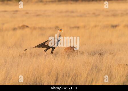 South Africa, Private reserve, Secretarybird or secretary bird (Sagittarius serpentarius), walking in the savannah - Stock Photo