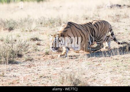 South Africa, Private reserve, Asian (Bengal) Tiger (Panthera tigris tigris), adult stalking, looking for a prey - Stock Photo