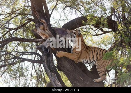 South Africa, Private reserve, Asian (Bengal) Tiger (Panthera tigris tigris), climbing in a tree in search of a prey kept in branches protected from other predators : a common warthog (Phacochoerus africanus) - Stock Photo