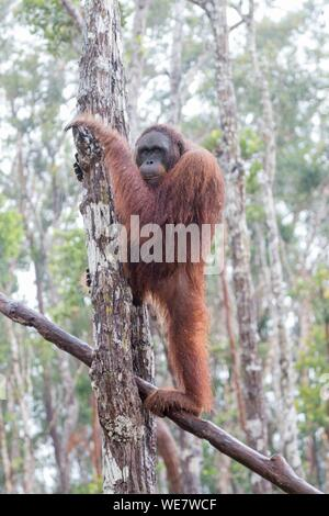 Indonesia, Borneo, Tanjung Puting National Park, Bornean orangutan (Pongo pygmaeus pygmaeus), under the tropical rain - Stock Photo