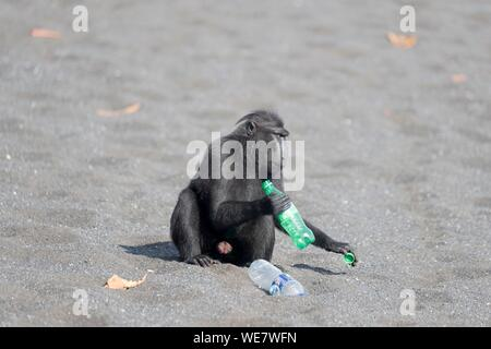 Indonesia, Celebes, Sulawesi, Tangkoko National Park, Celebes crested macaque or crested black macaque, Sulawesi crested macaque, or the black ape (Macaca nigra), on the black sand beach with a bottle of soda - Stock Photo