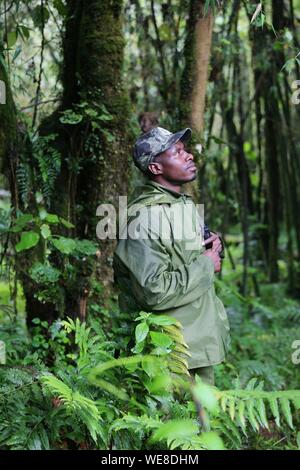 Rwanda, Volcanoes National Park, Rwandan ranger with a walkie talkie in hand in the middle of the forest - Stock Photo