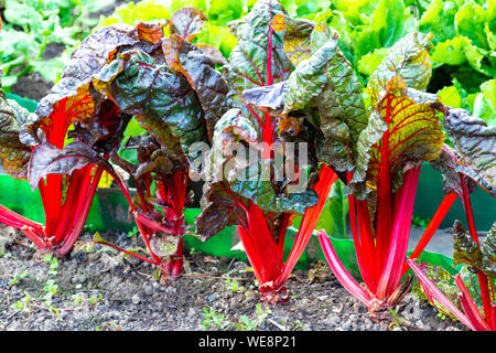 Sour leaf culinair vegetable red rhubarb growing in garden - Stock Photo