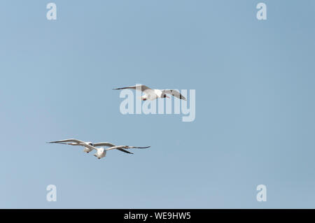 Low Angle View Of Birds Flying Against Clear Blue Sky - Stock Photo