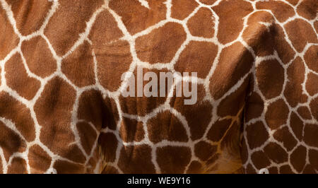 Abstract close up of an Articulated Giraffe's coat pattern - Stock Photo