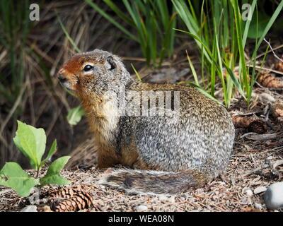 Columbian Ground Squirrel watching and guarding its burrow. Spermophilus columbianus, urocitellus columbianus