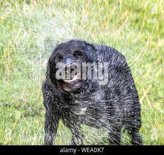 A dog spins and shakes to repel water. - Stock Photo