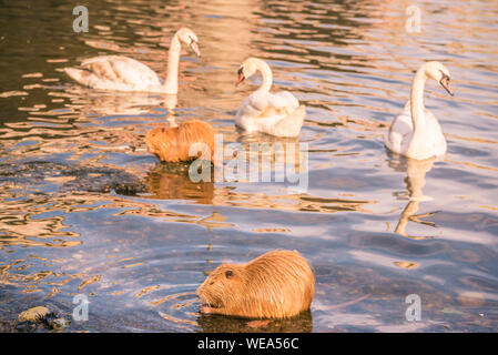 Orange river rat, the coypu and white swans are present on Vltava river in Prague, Czech Republic, to the delight of the tourists. - Stock Photo