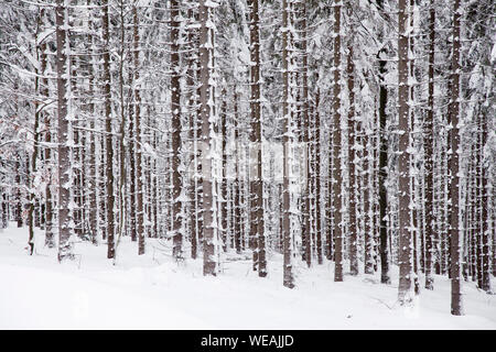 winter spuce forest with trees covered snow - Stock Photo