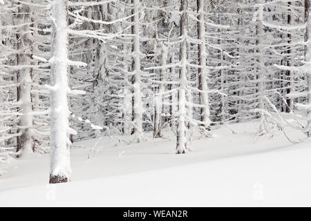 spuce trees covered snow or magic winter scenery - Stock Photo