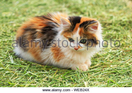 Close-up Of Calico Kitten Sitting On Grassy Field - Stock Photo