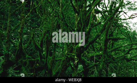 Old growth temperate rainforest, Georgian jungle - trees in the moss - Stock Photo