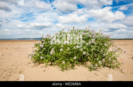 Sea stock Matthiola sinuata a rare crucifer growing above high tide line at Whiteford Burrows on the Gower Peninsula in South Wales UK - Stock Photo