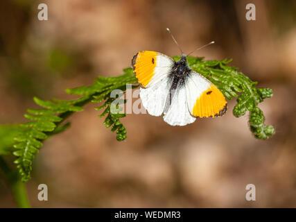 Orange tip Anthocharis cardamines male resting on bracken frond - Somerset UK - Stock Photo