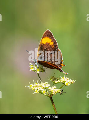 Brown hairstreak Thecla betulae female feeding - Dorset UK - Stock Photo