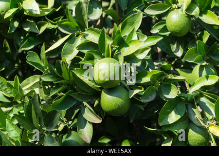 Fresh Oranges Growing On Tree During Sunny Day - Stock Photo