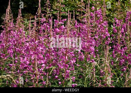 Rosebay willowherb, Chamaenerion angustifolium, fireweed, British wildflower. - Stock Photo