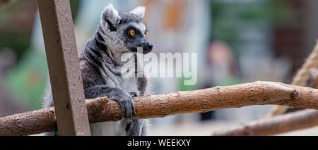 'Captive' Ring-Tailed Lemur (Lemur catta) is a large strepsirrhine primate at Washington Park Zoo in Michigan City, Indiana. - Stock Photo