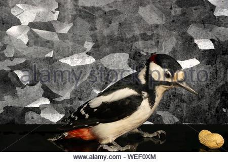 Buntspecht findet eine Erdnuss. Hintergrund Nr. 3 - Stock Photo