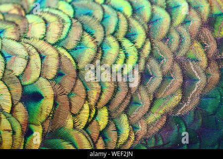 Scale feather of male green peafowl / peacock (Pavo muticus) - Stock Photo