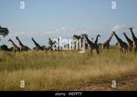 Tower Of Giraffes On Field - Stock Photo