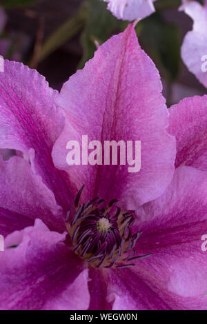 Mauve clematis flower in close up, showing the stigma and stamen - Stock Photo