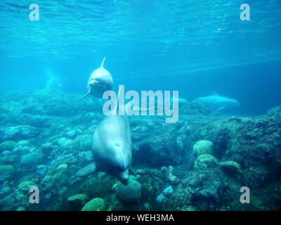 Dolphins Swimming In Water At Aquarium - Stock Photo