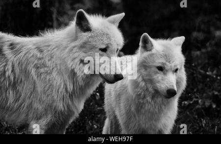 Arctic Wolves At Uk Wolf Conservation Trust - Stock Photo