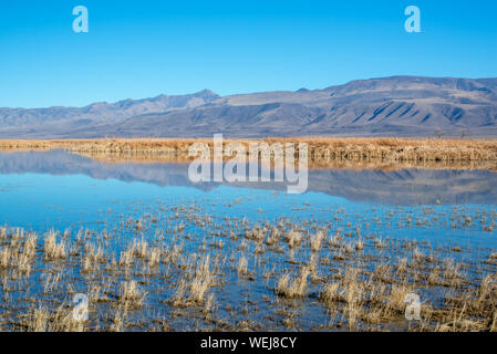 USA, Nevada, Churchill County, Stillwater National Wildlife Refuge. Strong blue yellow color contrast in the reflection of Foxtail Lake reeds. - Stock Photo