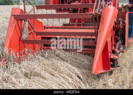 Haselbury Plucknett.Somerset.United Kingdom.August 18th 2019.Close up of the bed of a vintage combine harvester  harvesting wheat at a yesterdays farm - Stock Photo
