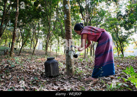Rubber Farmer gets liquid Latex Rubber raw material from a Rubber Tree in Bagbari Village, Tripura State, Northeast India - Stock Photo
