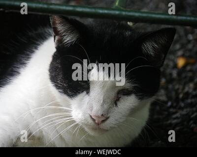 Face of a black and white six-toed cat at the Hemingway house in Key West, Florida. - Stock Photo