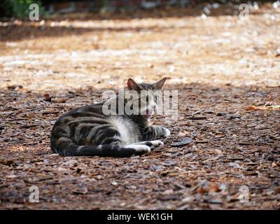 Wide shot of one of the pampered cats at the Hemingway house in Key West, Florida. - Stock Photo