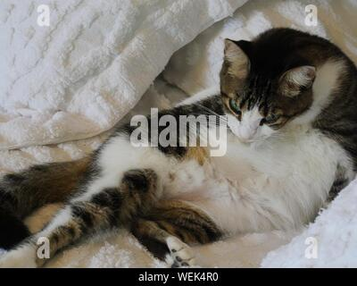 One of the pampered cats languishign in bed at the Hemingway house, Key West, Florida. - Stock Photo