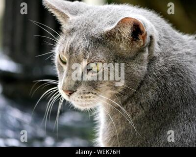 Close up of one of the pampered cats at the Hemingway cats in Key West, Florida. - Stock Photo