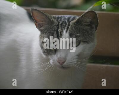 Gray and white cat at the Hemingway house in Key West, Florida. - Stock Photo