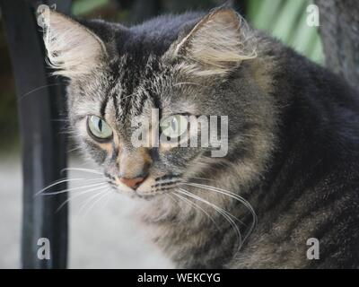 Close up of a tabby at the Hemingway house in Key West, Florida. - Stock Photo