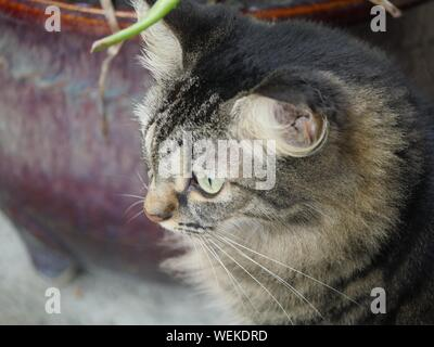 One of the pampered tabby cats at the Hemingway house in Key West, Florida. - Stock Photo