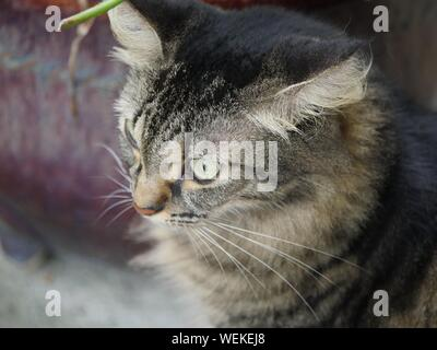 A pampered tabby cat at the Hemingway house in Key West, Florida. - Stock Photo