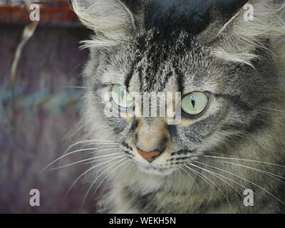 Close up of one of the pampered cats at the Hemingway house in Key West, Florida. - Stock Photo