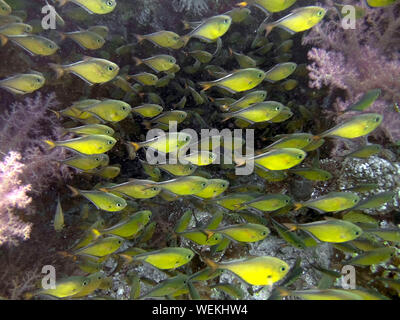 Dusky Sweepers (Pempheris adusta) in the Red Sea - Stock Photo