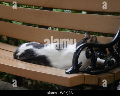 A black and white cat on a wooden bench at the Hemingway house in Key West, Florida. - Stock Photo