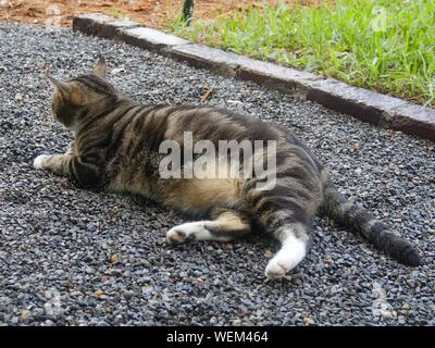 A pampered cat relaxes on the grounds at the Ernest Hemingway gardens in Key West, Florida. - Stock Photo