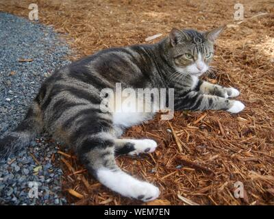 A pampered cat at the Hemingway house gardens in Key West, Florida. - Stock Photo