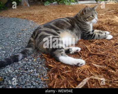 Beautiful pampered cat at the Hemingway house gardens in Key West, Florida. - Stock Photo