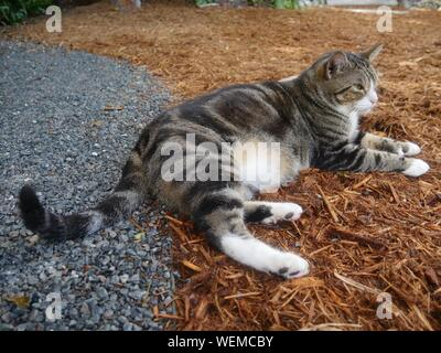 One of the famous cats at the Hemingway house gardens in Key West, Florida. - Stock Photo