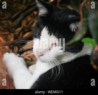 Cropped head shot of a black and white cat at the Hemingway gardens in Key West, Florida. - Stock Photo